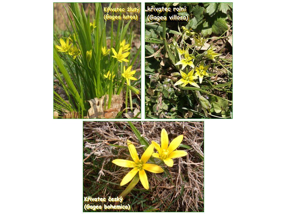 Lilie (Lilium) Kořen: Cibule - nesou šupiny  vegetativní rozmnožování Listy: Mohou být střídavé, nebo v přeslenech Souběžná žilnatina, celokrajná čepel V paždí listů se mohou nacházet pacibulky  vegetativní rozmnožování Květy: Nápadné, různé barvy Oboupohlavné Květenství - hrozen, vzácně okolík, chocholík (mohou být však jednotlivě) Svrchní semeník Okvětí - 6 okvětních lístků ve dvou přeslenech (3 + 3) 6 tyčinek Plod: Tobolka Rozšíření: Převážně mírný až subtropický pás  Evropa, Asie, Severní Amerika Známo přibližně 120 druhů Zástupci: lilie zlatohlavá (Lilium martagon) lilie cibulkonosná (Lilium bulbiferum) lilie královská (Lilium regale)