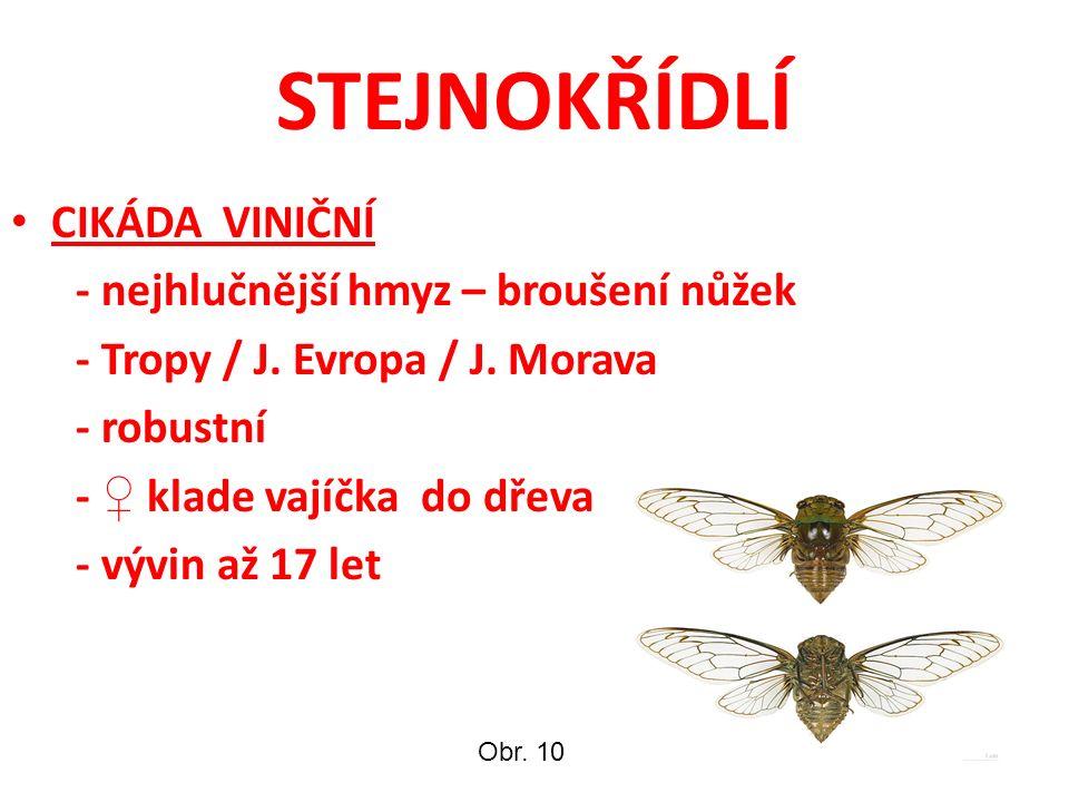 STEJNOKŘÍDLÍ CIKÁDA VINIČNÍ - nejhlučnější hmyz – broušení nůžek - Tropy / J. Evropa / J. Morava - robustní - ♀ klade vajíčka do dřeva - vývin až 17 l