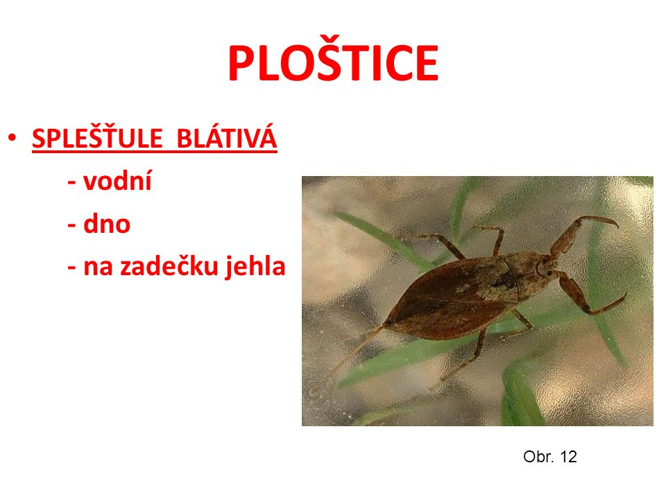 PLOŠTICE SPLEŠŤULE BLÁTIVÁ - vodní - dno - na zadečku jehla Obr. 12