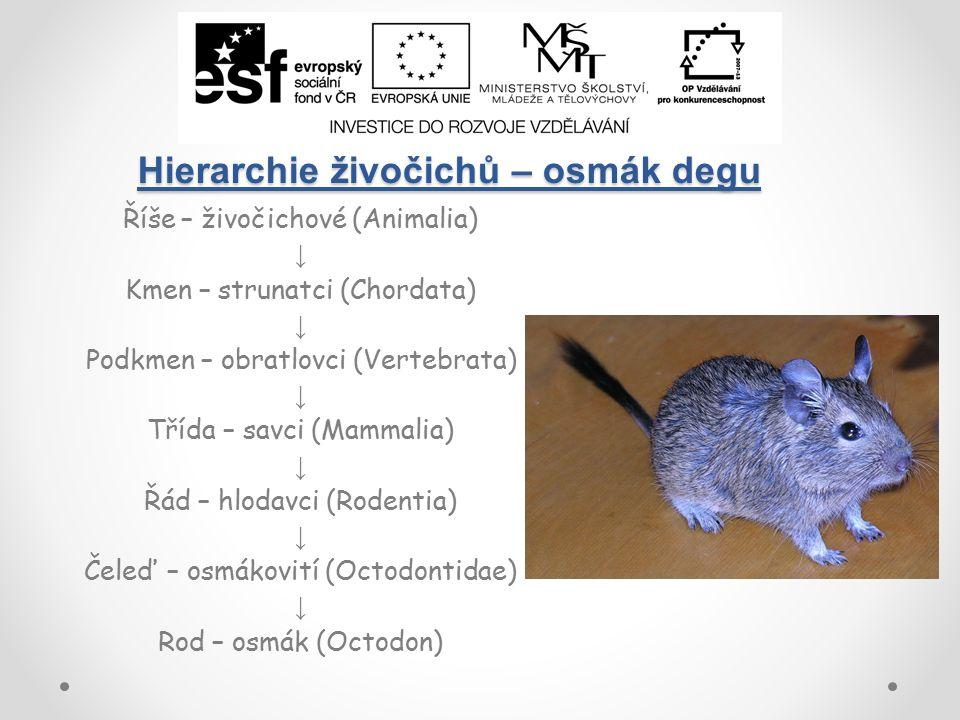 Hierarchie živočichů – osmák degu Říše – živočichové (Animalia) ↓ Kmen – strunatci (Chordata) ↓ Podkmen – obratlovci (Vertebrata) ↓ Třída – savci (Mammalia) ↓ Řád – hlodavci (Rodentia) ↓ Čeleď – osmákovití (Octodontidae) ↓ Rod – osmák (Octodon)