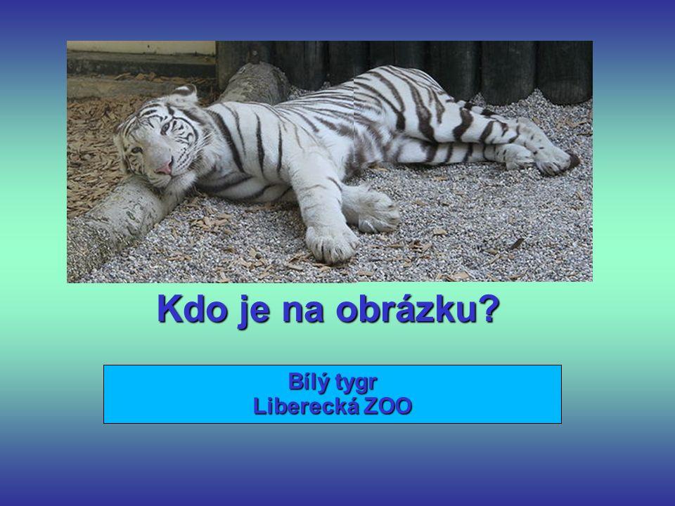 Kdo je na obrázku Bílý tygr Liberecká ZOO