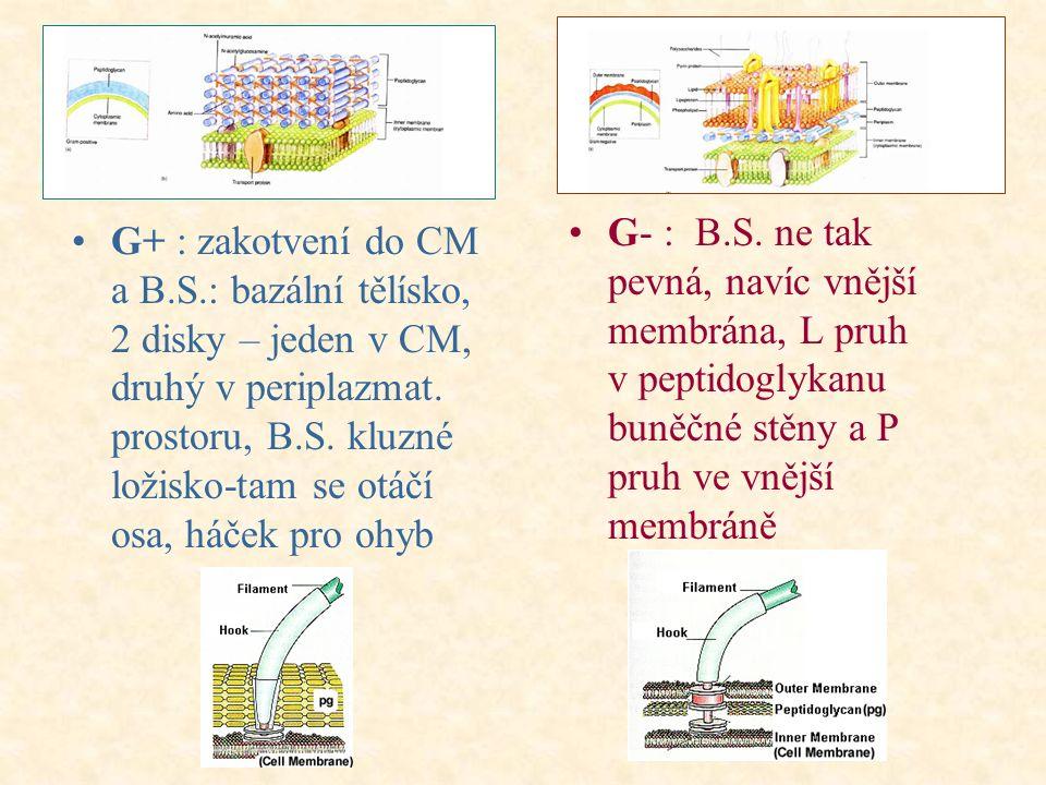 G+ : zakotvení do CM a B.S.: bazální tělísko, 2 disky – jeden v CM, druhý v periplazmat.