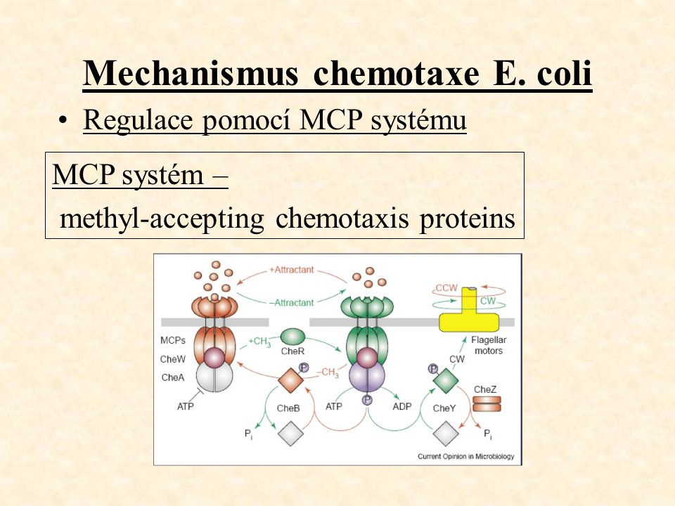 Mechanismus chemotaxe E.
