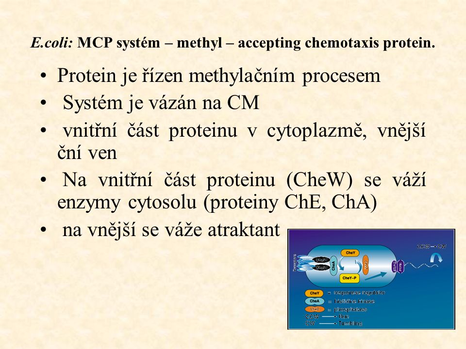 E.coli: MCP systém – methyl – accepting chemotaxis protein.