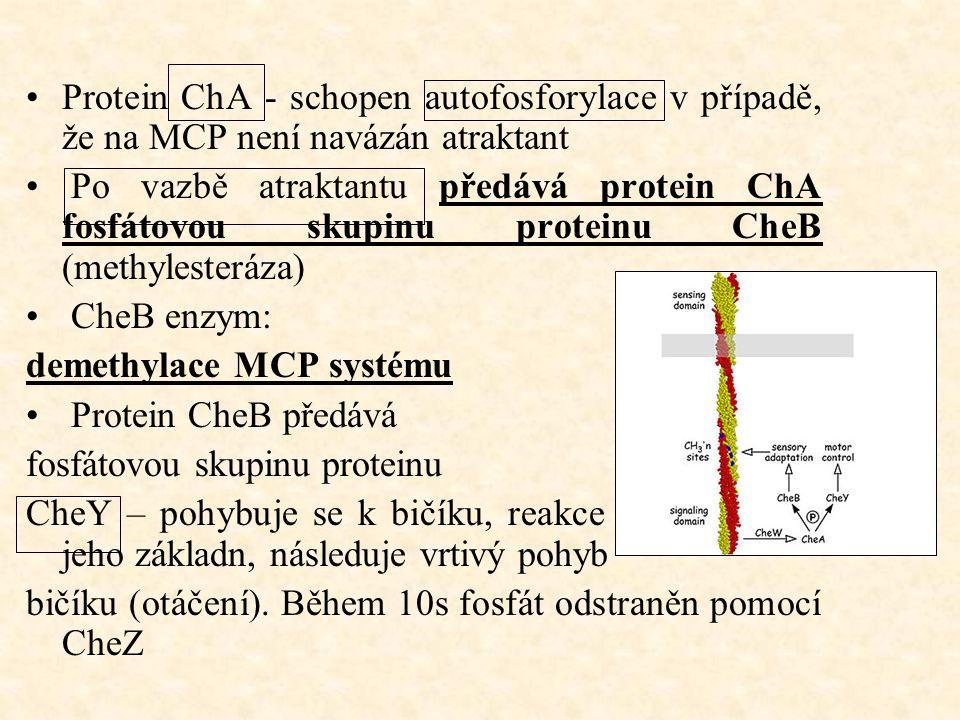 Protein ChA - schopen autofosforylace v případě, že na MCP není navázán atraktant Po vazbě atraktantu předává protein ChA fosfátovou skupinu proteinu CheB (methylesteráza) CheB enzym: demethylace MCP systému Protein CheB předává fosfátovou skupinu proteinu CheY – pohybuje se k bičíku, reakce s proteiny na jeho základn, následuje vrtivý pohyb bičíku (otáčení).
