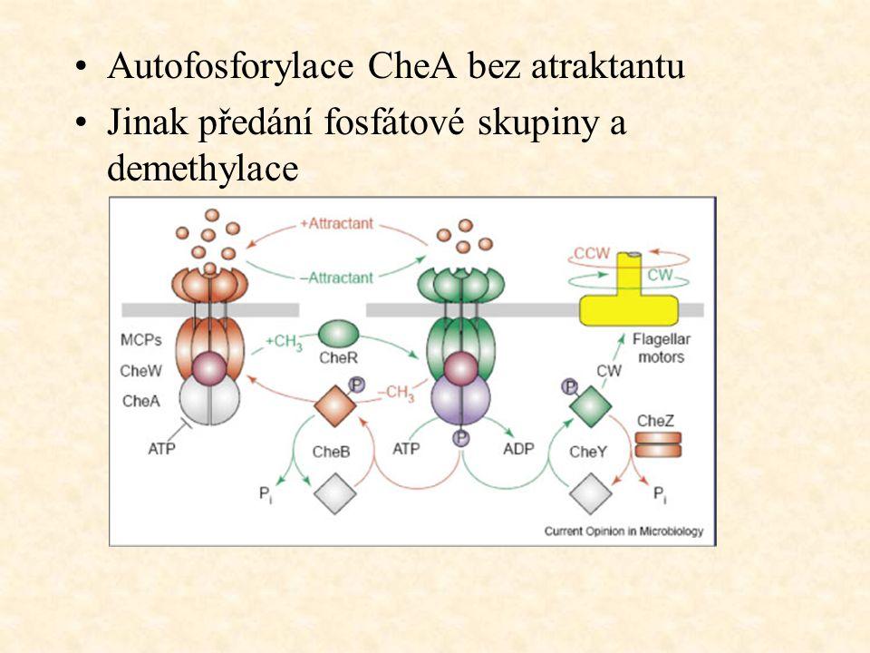 Autofosforylace CheA bez atraktantu Jinak předání fosfátové skupiny a demethylace