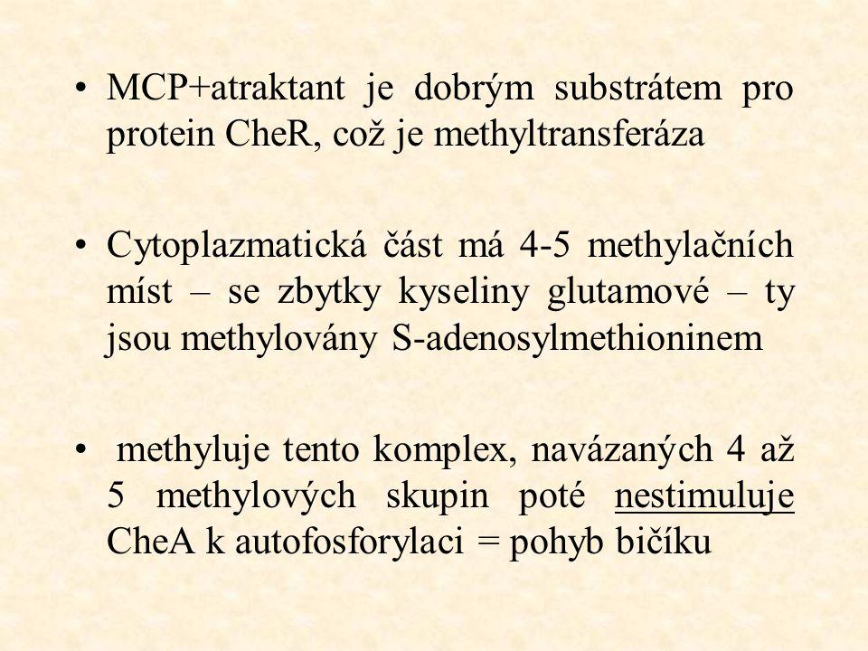 MCP+atraktant je dobrým substrátem pro protein CheR, což je methyltransferáza Cytoplazmatická část má 4-5 methylačních míst – se zbytky kyseliny glutamové – ty jsou methylovány S-adenosylmethioninem methyluje tento komplex, navázaných 4 až 5 methylových skupin poté nestimuluje CheA k autofosforylaci = pohyb bičíku
