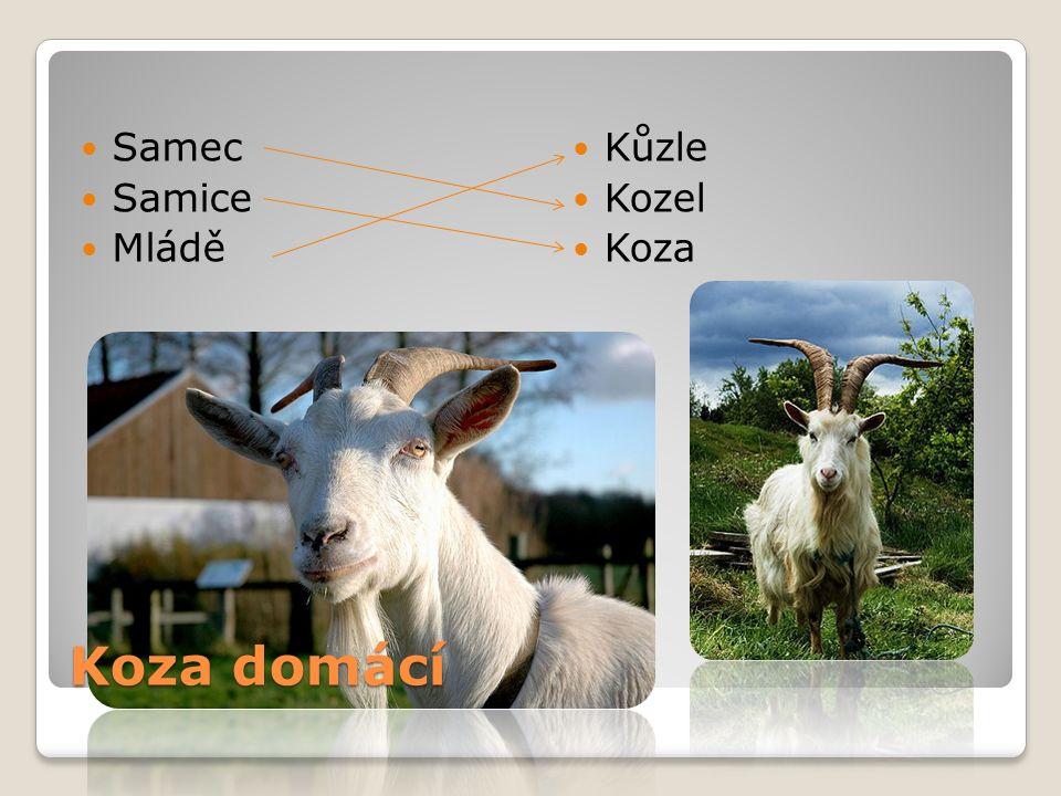 Koza domácí Samec Samice Mládě Kůzle Kozel Koza