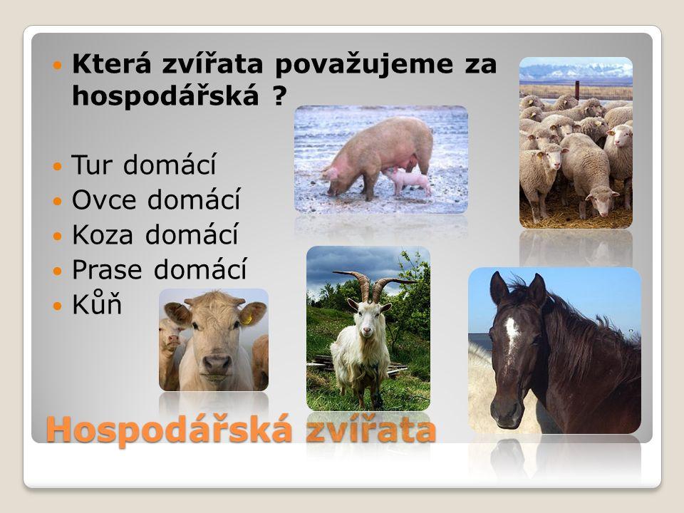 Hospodářská zvířata Která zvířata považujeme za hospodářská ? Tur domácí Ovce domácí Koza domácí Prase domácí Kůň