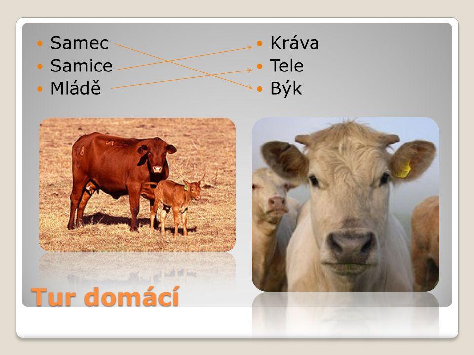 Tur domácí Samec Samice Mládě Kráva Tele Býk