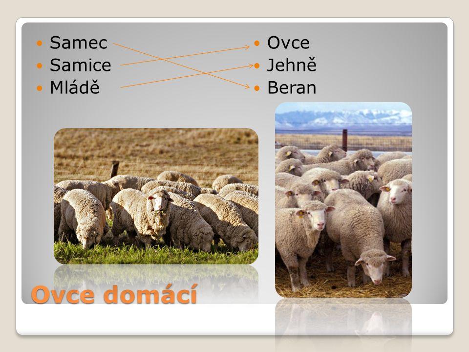 Ovce domácí Samec Samice Mládě Ovce Jehně Beran