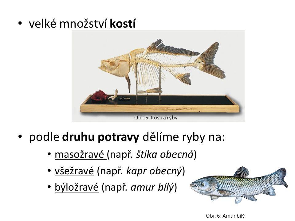 velké množství kostí podle druhu potravy dělíme ryby na: masožravé (např. štika obecná) všežravé (např. kapr obecný) býložravé (např. amur bílý) Obr.