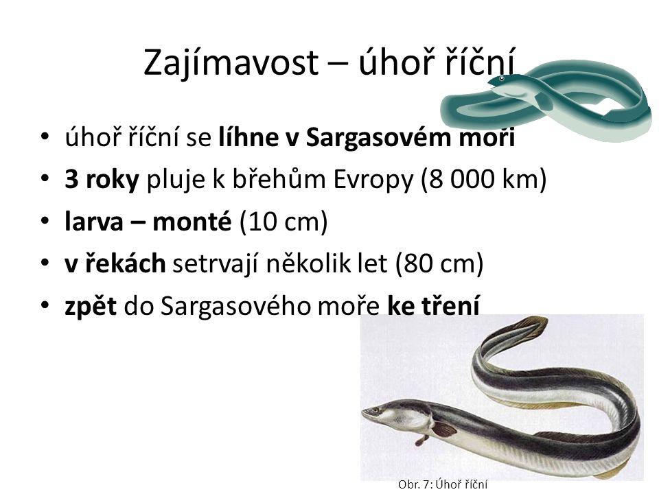 Zajímavost – úhoř říční úhoř říční se líhne v Sargasovém moři 3 roky pluje k břehům Evropy (8 000 km) larva – monté (10 cm) v řekách setrvají několik let (80 cm) zpět do Sargasového moře ke tření Obr.