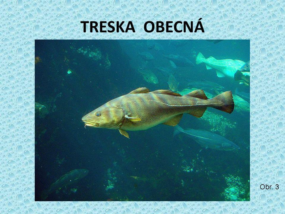 TRESKA OBECNÁ Obr. 3