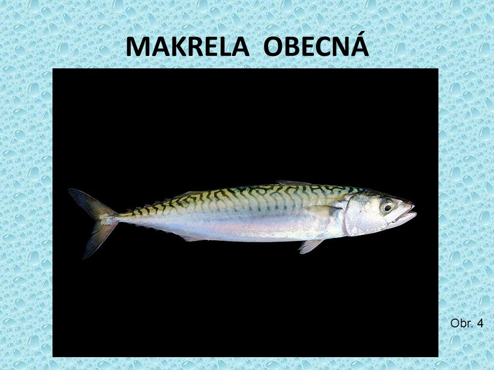 MAKRELA OBECNÁ Obr. 4