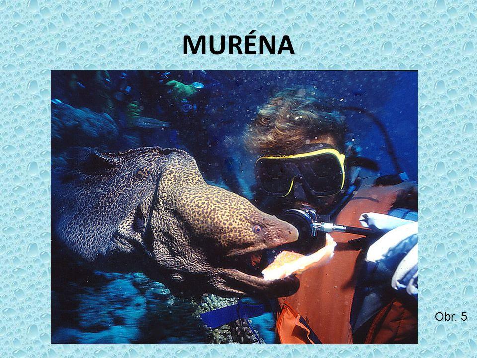 MURÉNA Obr. 5