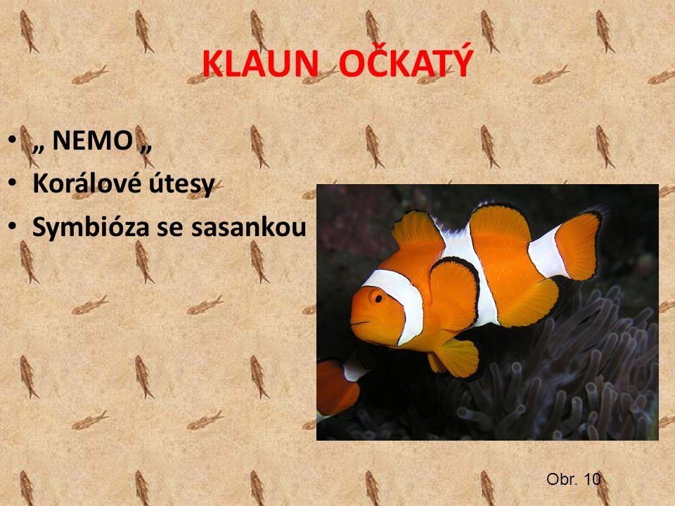 """KLAUN OČKATÝ """" NEMO """" Korálové útesy Symbióza se sasankou Obr. 10"""