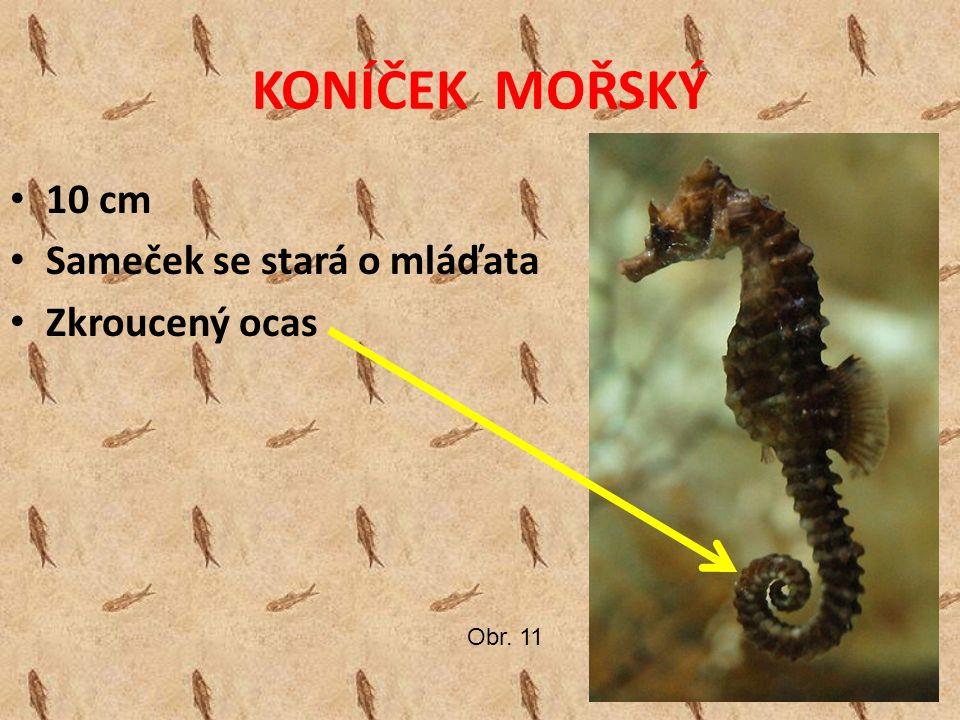 KONÍČEK MOŘSKÝ 10 cm Sameček se stará o mláďata Zkroucený ocas Obr. 11