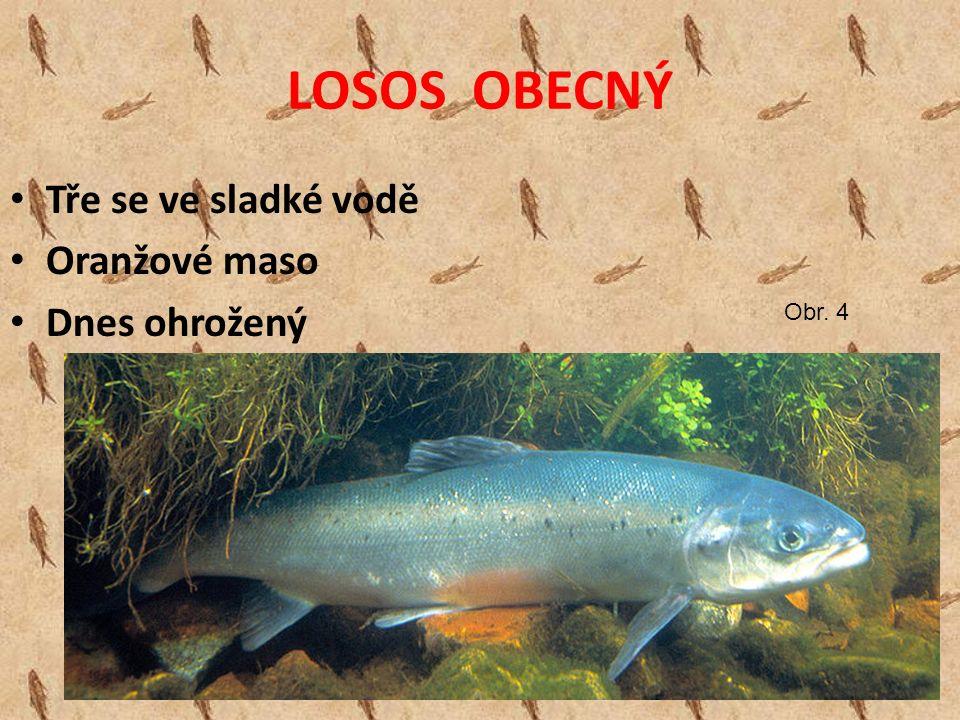 LOSOS OBECNÝ Tře se ve sladké vodě Oranžové maso Dnes ohrožený Obr. 4