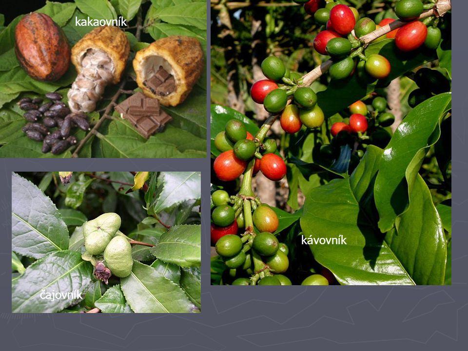 kakaovník kávovník čajovník