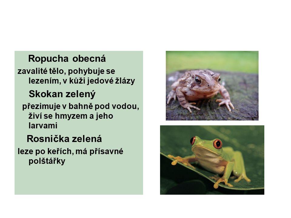 Ropucha obecná zavalité tělo, pohybuje se lezením, v kůži jedové žlázy Skokan zelený přezimuje v bahně pod vodou, živí se hmyzem a jeho larvami Rosnička zelená leze po keřích, má přísavné polštářky