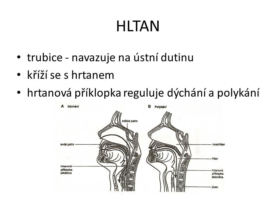 HLTAN trubice - navazuje na ústní dutinu kříží se s hrtanem hrtanová příklopka reguluje dýchání a polykání