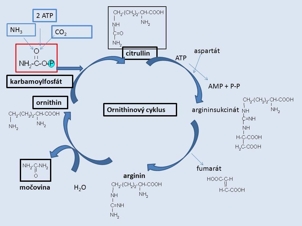 ornithin citrullin argininsukcinát arginin karbamoylfosfát NH 3 CO 2 2 ATP aspartát ATP AMP + P-P fumarát H2OH2Omočovina Ornithinový cyklus