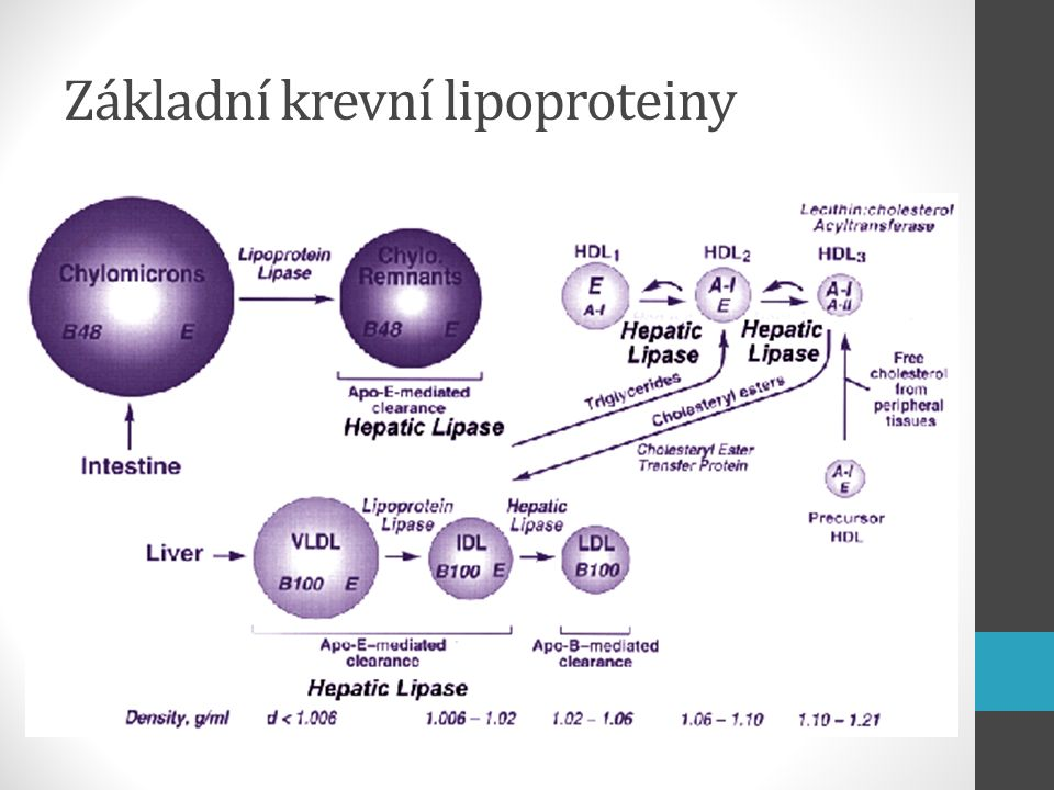 Chylomikrony Lipoproteiny s nejmenší hustotou ↓ relativní obsah bílkovin x ↑ obsah lipidů Tvořeny v tenkém střevě transport TAG do tkání lymfou se dostávají přímo do systémové cirkulace – obcházejí játra Účinkem lipoproteinové lipázy uvolňují TAG ve tkáních → chylomikronový zbytek (remnant) VLDL Syntetizován v játrech obsahuje hlavně TAG Transport TAG z jater na periférii hydrolýza lipoproteinovou lipázou IDL vychytávány játry nebo konvertovány na LDL účinkem jaterní lipázy obsahuje hlavně cholesterol