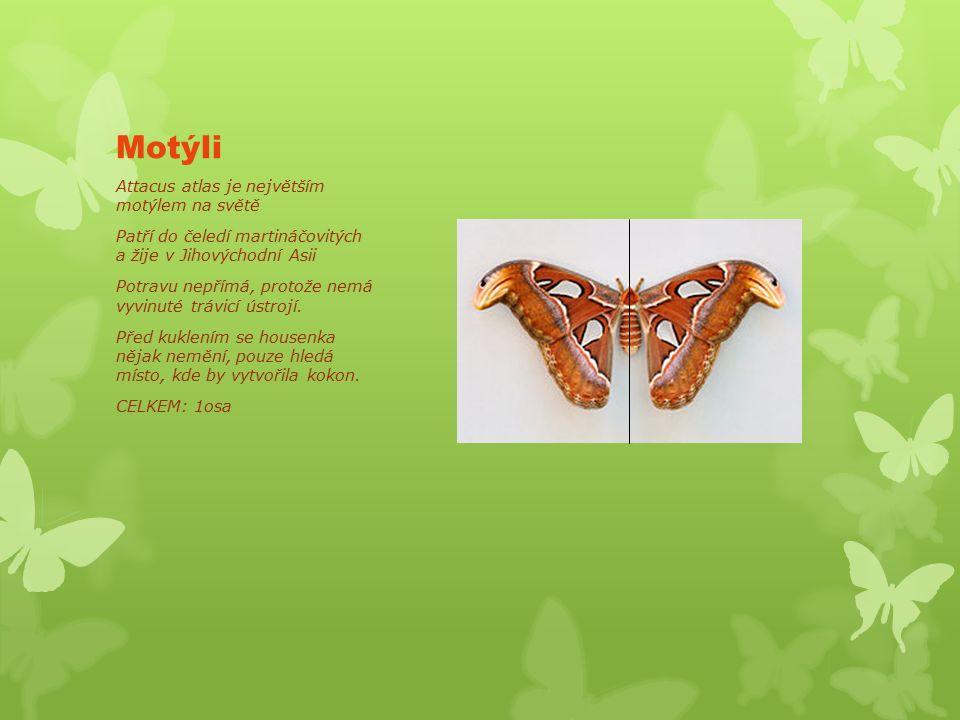 Motýli Attacus atlas je největším motýlem na světě Patří do čeledí martináčovitých a žije v Jihovýchodní Asii Potravu nepřímá, protože nemá vyvinuté trávicí ústrojí.
