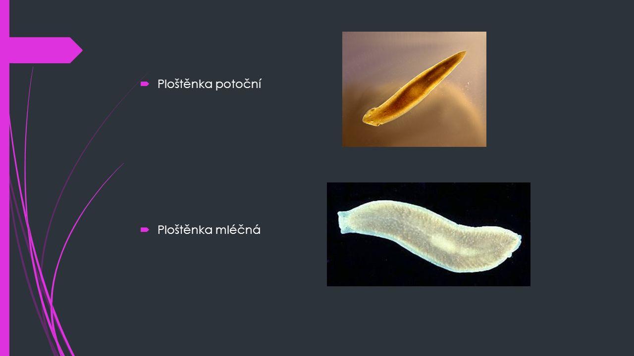 Motolice  Cizopasní, střídají hostiele (vývojová stádia – bezobratlí, dosplělec – obratlovci)  Mají složité vývojově cykly  Nečlánkované tělo  Jednovrstvá pokožka vylučuje kutikulu, která ji chrání před trávicími šťávami  Potlačené orgány (smyslové a pohybové)  Téměř celé tělo vyplňuje pohlavní ústrojí  Pokud se oplozená vajíčka dostanou do vody mění se na miracidium (obrvená pohyblivá larva) → musí do 24 hod proniknout do bahnatky malé → sporocysta → opuští bahnatku na trávu → v dalším hostiteli cysta praská a larva proniká do jater → cyklus se může opakovat