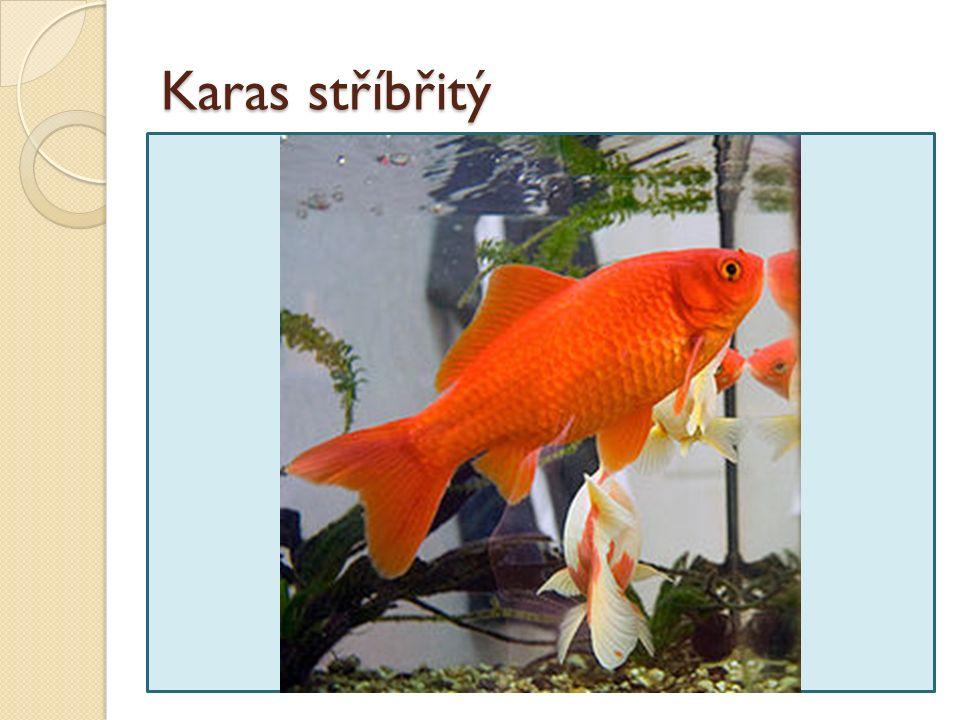 Karas stříbřitý Ryba z jihovýchodní Asie, chována pro okrasu (už na čínském císařském dvoře).