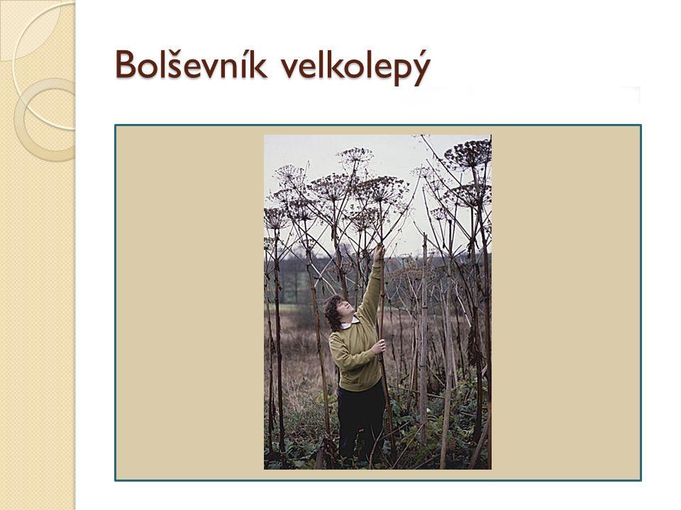 Bolševník velkolepý původně z Kavkazu v Evropě pěstován od začátku 19.