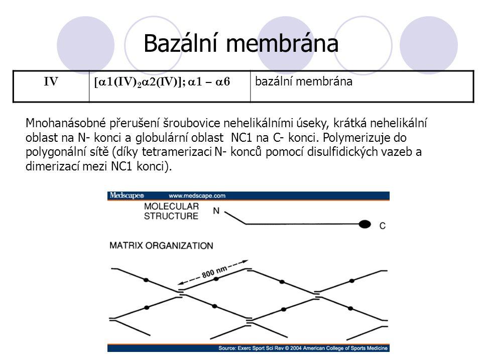 IV  1(IV) 2  V)];  1 –  6 bazální membrána Bazální membrána Mnohanásobné přerušení šroubovice nehelikálními úseky, krátká nehelikální oblast na N- konci a globulární oblast NC1 na C- konci.