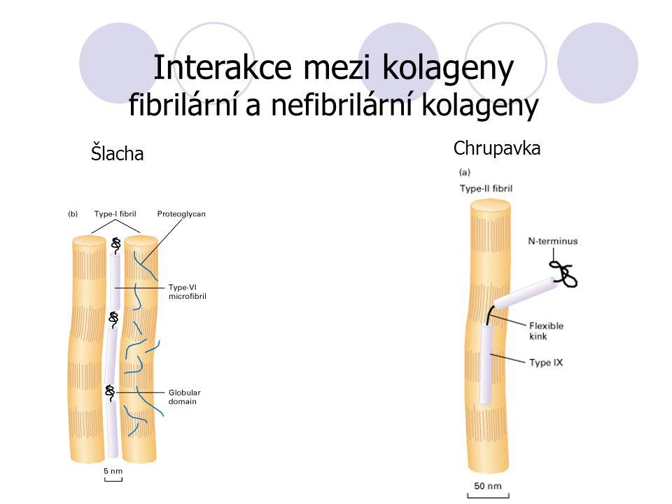 Interakce mezi kolageny fibrilární a nefibrilární kolageny Chrupavka Šlacha