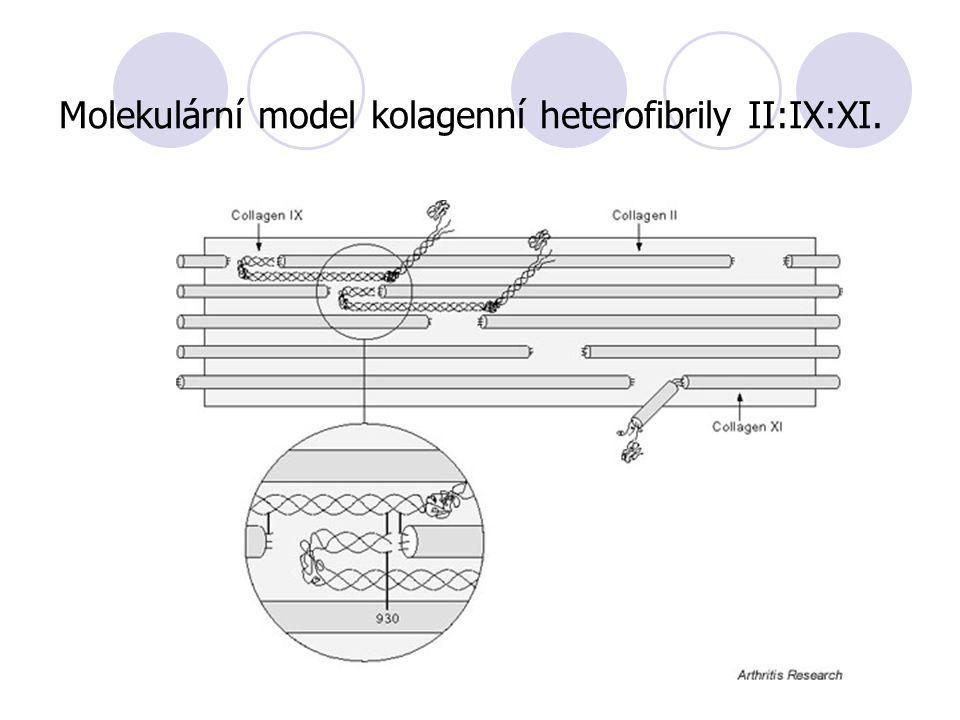 Molekulární model kolagenní heterofibrily II:IX:XI.