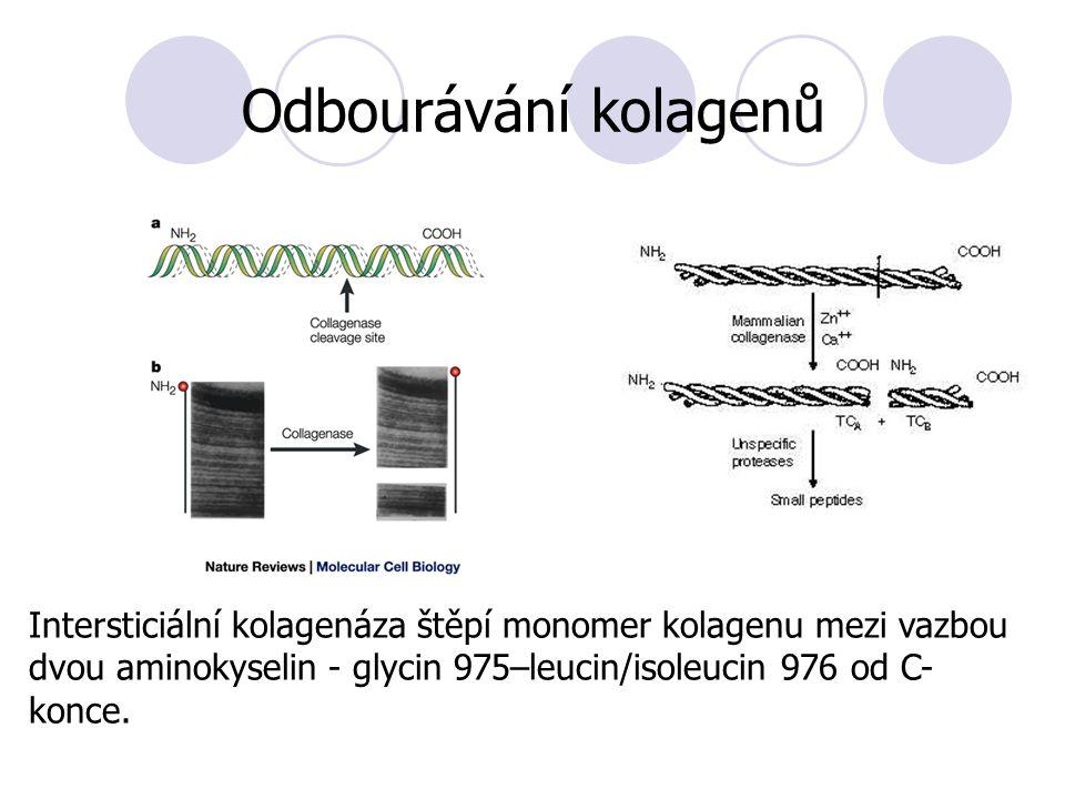 Intersticiální kolagenáza štěpí monomer kolagenu mezi vazbou dvou aminokyselin - glycin 975–leucin/isoleucin 976 od C- konce.