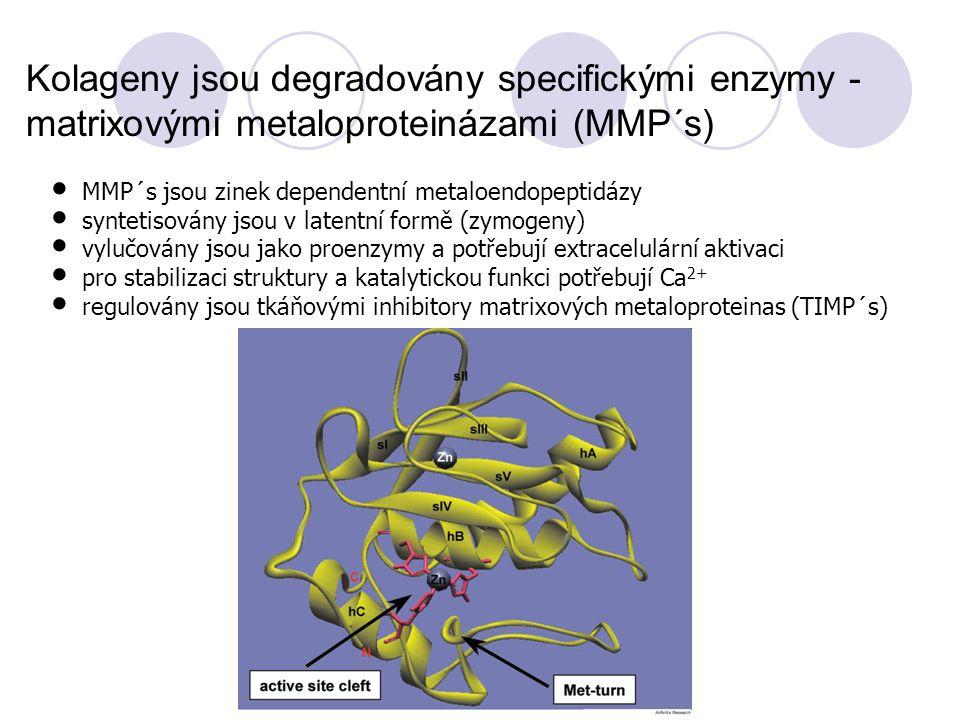 Kolageny jsou degradovány specifickými enzymy - matrixovými metaloproteinázami (MMP´s) MMP´s jsou zinek dependentní metaloendopeptidázy syntetisovány jsou v latentní formě (zymogeny) vylučovány jsou jako proenzymy a potřebují extracelulární aktivaci pro stabilizaci struktury a katalytickou funkci potřebují Ca 2+ regulovány jsou tkáňovými inhibitory matrixových metaloproteinas (TIMP´s)