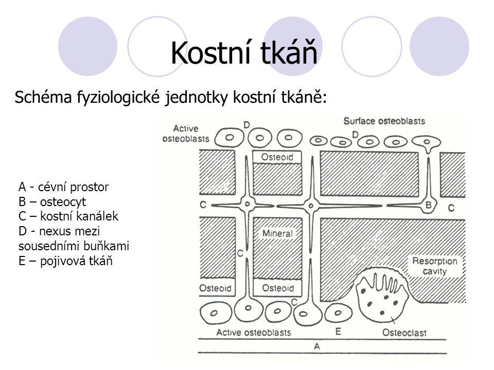 A - cévní prostor B – osteocyt C – kostní kanálek D - nexus mezi sousedními buňkami E – pojivová tkáň Kostní tkáň Schéma fyziologické jednotky kostní
