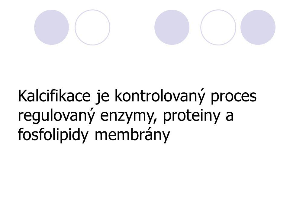Kalcifikace je kontrolovaný proces regulovaný enzymy, proteiny a fosfolipidy membrány