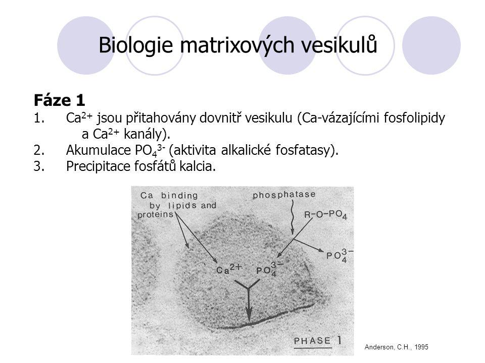Biologie matrixových vesikulů Fáze 1 1.