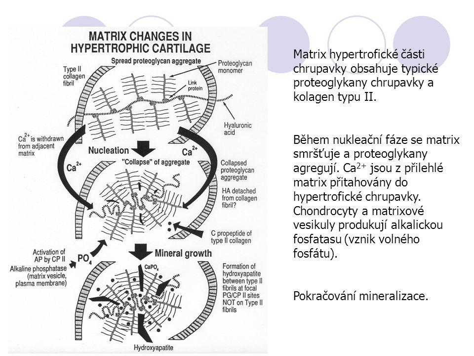 Matrix hypertrofické části chrupavky obsahuje typické proteoglykany chrupavky a kolagen typu II.