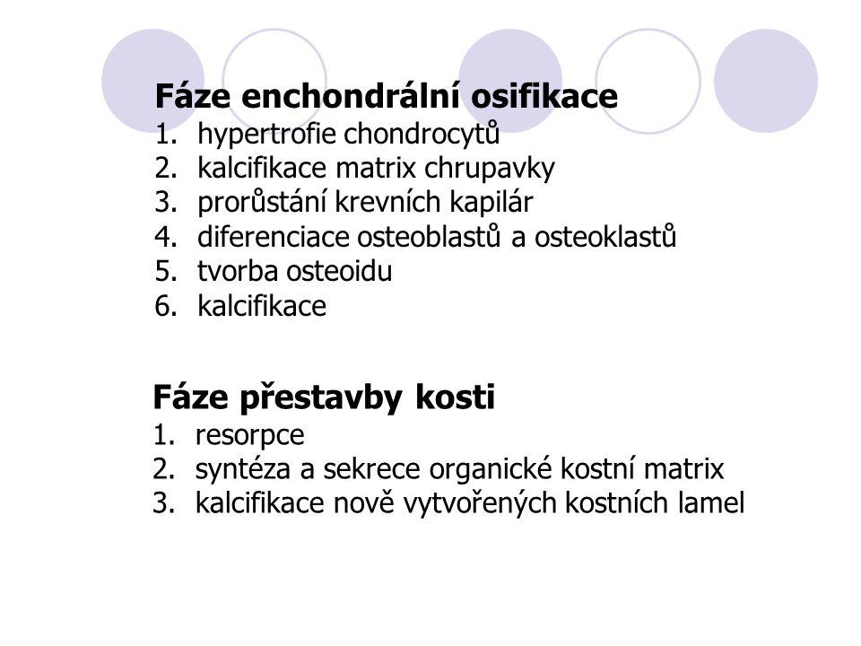 Fáze enchondrální osifikace 1.hypertrofie chondrocytů 2.kalcifikace matrix chrupavky 3.prorůstání krevních kapilár 4.diferenciace osteoblastů a osteoklastů 5.tvorba osteoidu 6.kalcifikace Fáze přestavby kosti 1.resorpce 2.syntéza a sekrece organické kostní matrix 3.kalcifikace nově vytvořených kostních lamel