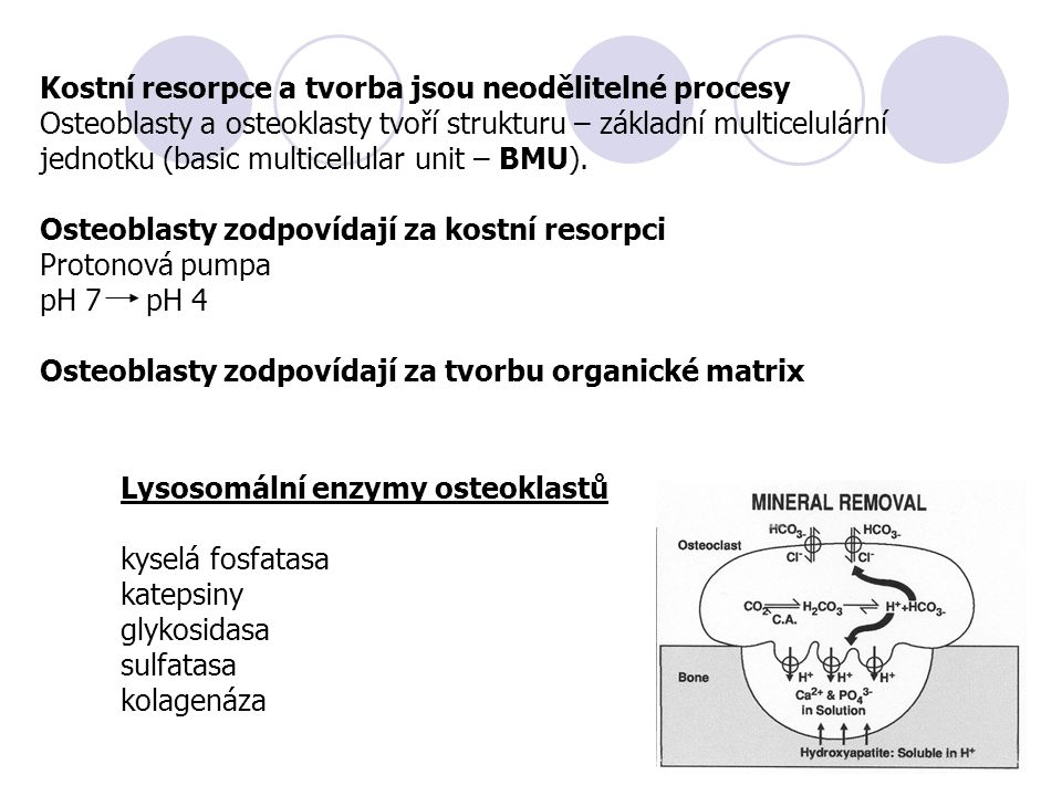 Kostní resorpce a tvorba jsou neodělitelné procesy Osteoblasty a osteoklasty tvoří strukturu – základní multicelulární jednotku (basic multicellular u