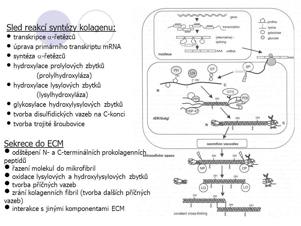 Sled reakcí syntézy kolagenu: transkripce  -řetězců úprava primárního transkriptu mRNA syntéza  -řetězců hydroxylace prolylových zbytků (prolylhydroxyláza) hydroxylace lysylových zbytků (lysylhydroxyláza) glykosylace hydroxylysylových zbytků tvorba disulfidických vazeb na C-konci tvorba trojité šroubovice Sekrece do ECM odštěpení N- a C-terminálních prokolagenních peptidů řazení molekul do mikrofibril oxidace lysylových a hydroxylysylových zbytků tvorba příčných vazeb zrání kolagenních fibril (tvorba dalších příčných vazeb) interakce s jinými komponentami ECM