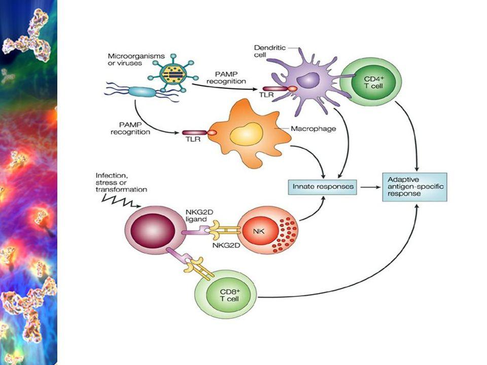 Vrozená (nespecifická) imunita ACAMP (Apoptotic Cell Associated Molecular Pattern) identifikace díky ACAR (Apoptotic Cell Associated Receptor) o rozvoji imunitní reakce rozhoduje typ b., kt.