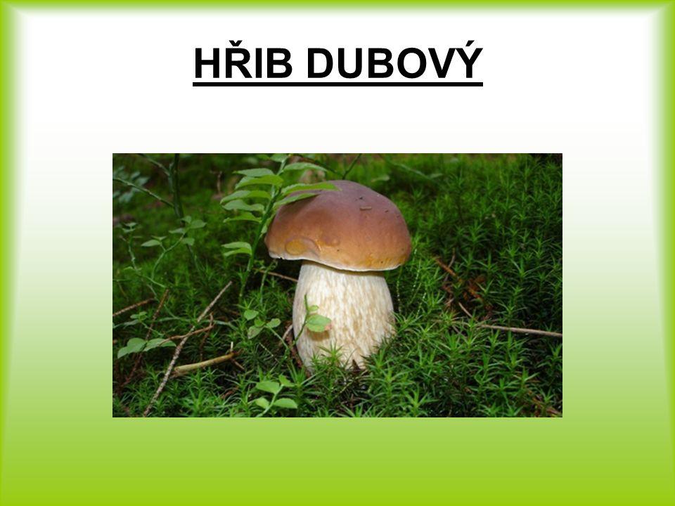 HŘIB DUBOVÝ