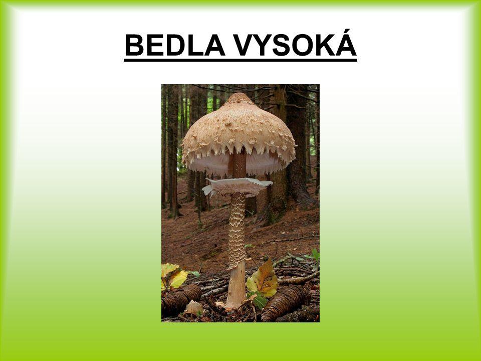 BEDLA VYSOKÁ