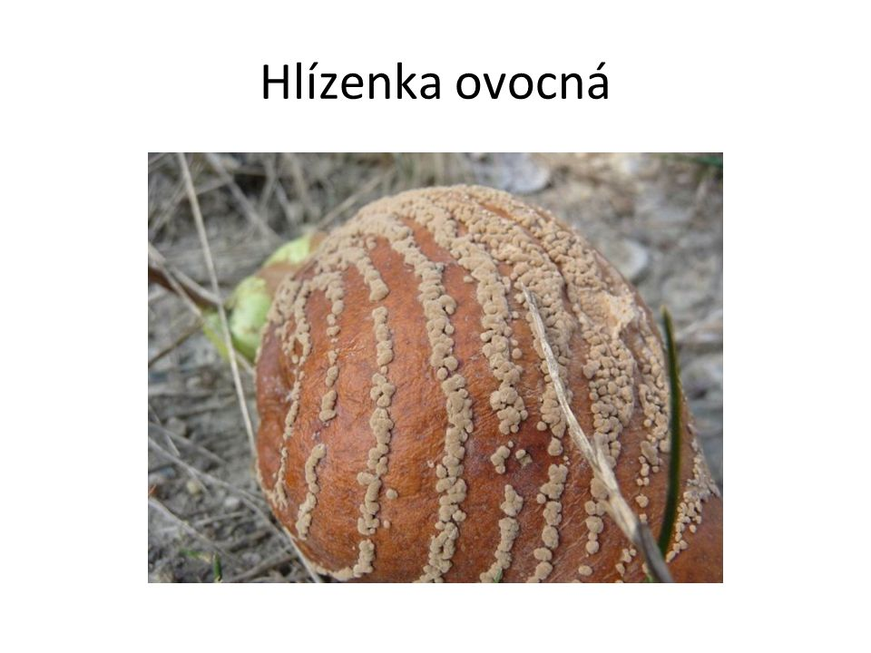 Hlízenka ovocná