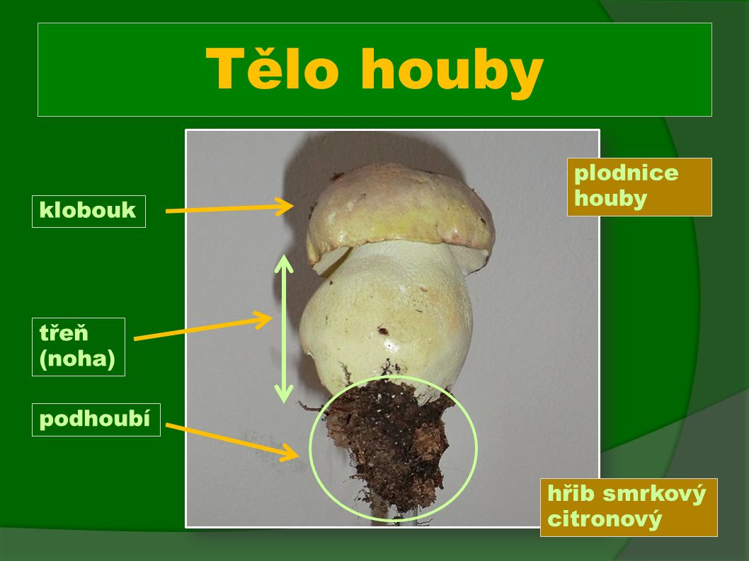 Tělo houby plodnice houby klobouk třeň (noha) podhoubí hřib smrkový citronový