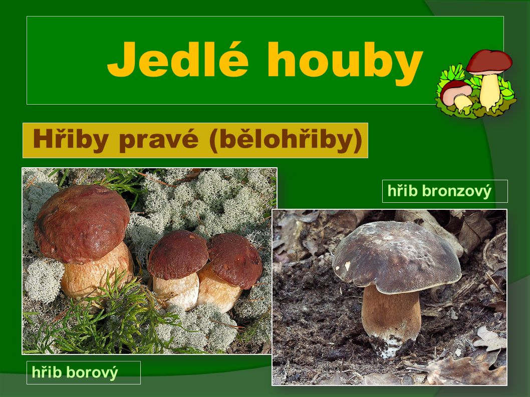 Jedlé houby Hřiby pravé (bělohřiby) hřib borový hřib bronzový